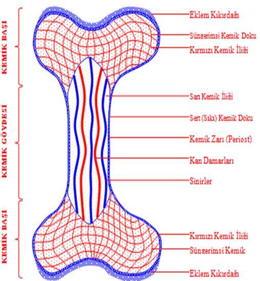 Iskelet Iskelet Sistemi Iskeletin özellikleri çeşitleri