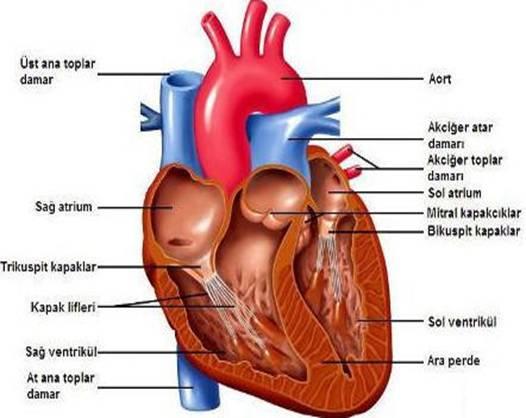 Kalp Kalbin özellikleri Kalbin çalişmasi Kalp Damarlari Kan