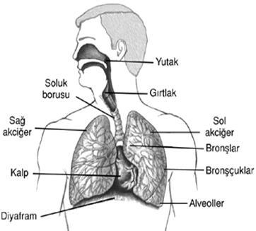 Solunum Sistemi Organlari Calismasi Sagligi Korunmasi