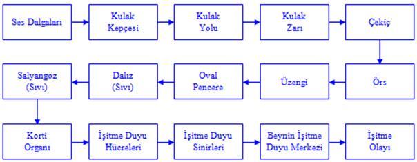 Duyu Organlari Duyu Organlarinin özellikleri Duyu Organlarinin